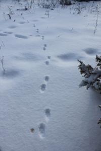 red-fox-tracks
